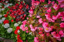 Pink Flower Garden In Doi Tung Chiang Rai Thailand