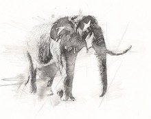 Elephant Drawing From Pencil A...