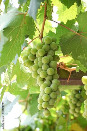 Green grapes in garden, Thailand Fototapete