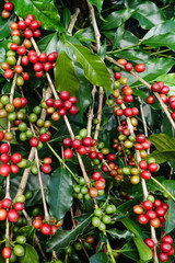 Fototapeta Do kawiarni Coffee beans ripening on a tree