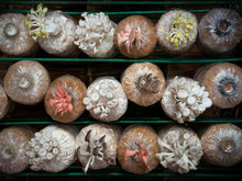 Mushrooms Are Blooming In Planting Bags