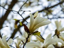 Fleur Solitaire De Magnolia De Kobé En Coupe Blanc Pur Et Parfumé Du Magnolia De Kobé (Magnolia Kobus)