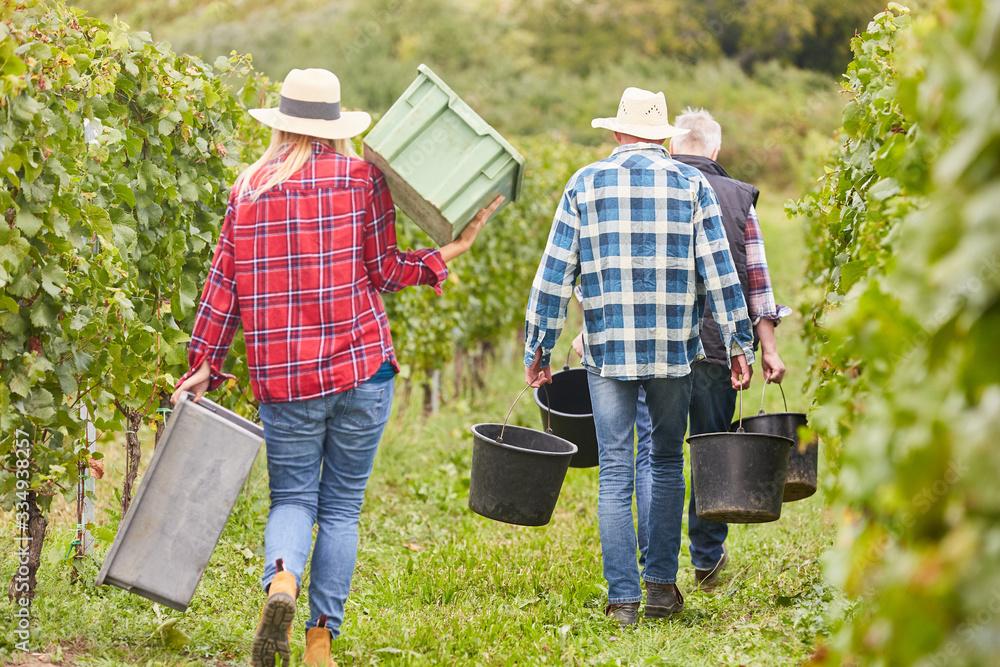 Fototapeta Harvest helpers as seasonal workers during the wine harvest