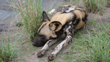 Close Up From Two African Wild Dog Sleeping