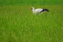 Stork, Ciconiida, Catching An ...