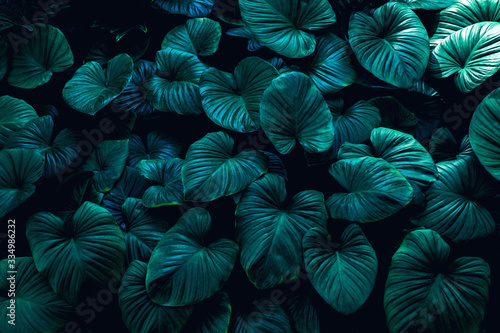 Fototapete - closeup nature view of green leaf texture, dark wallpaper concept, nature background, tropical leaf