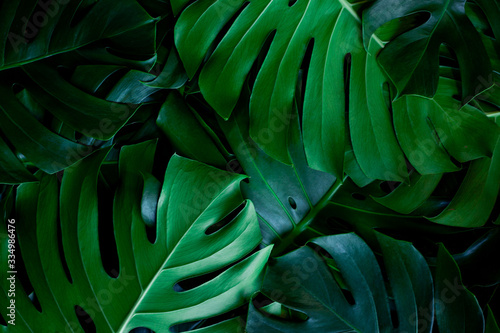 Wall mural - closeup nature view of green leaf background. Flat lay, dark nature concept, tropical leaf