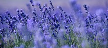 Banner. Lavender Field In The ...