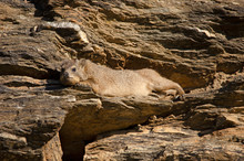 Dassie (rock Hyrax) Stretches Out In The Sun, Namibia, Africa