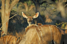 Female Greater Kudu Looks At C...