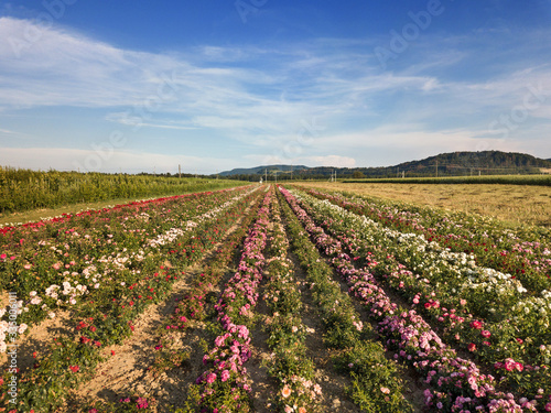 Leinwand Poster Rose fields among diverse crop growth based on principle of polyculture and perm