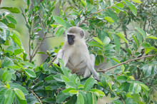Cute Baby Vervet Monkey In Tree, Northern Namibia, Africa