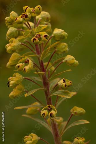 Euphorbia Ascot Rainbow Flower Head Canvas Print