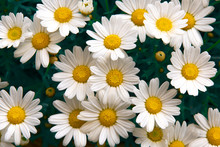 Lovely Blossom Daisy Flowers Background. Sunny Meadow Closeup.