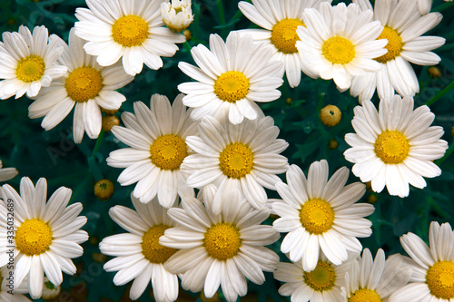 Leinwand Poster Lovely blossom daisy flowers background. Sunny meadow closeup.
