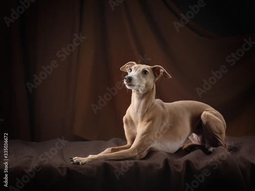 Valokuva dog on a brown drapery background. graceful Italian greyhound.