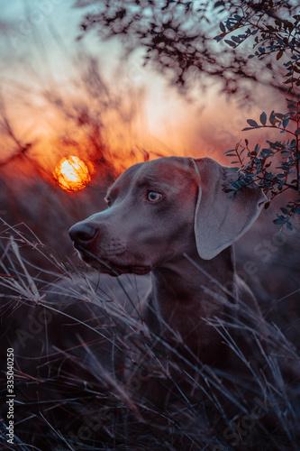 Photo Dog at sunset