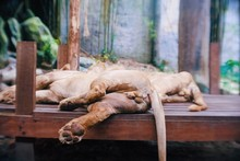View From Back Side Of A Male Lion Sleeping On The Wood With Good View On His Balls At The Zoo.