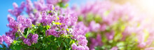 Lilac Flowers Blooming Outdoor...
