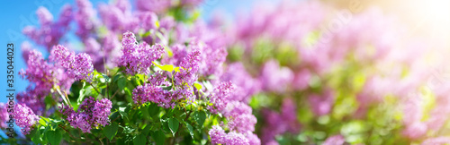 Lilac flowers blooming outdoors with spring blossom
