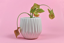 Neglected Dying House Plant In White Flower Pot On Pink Background