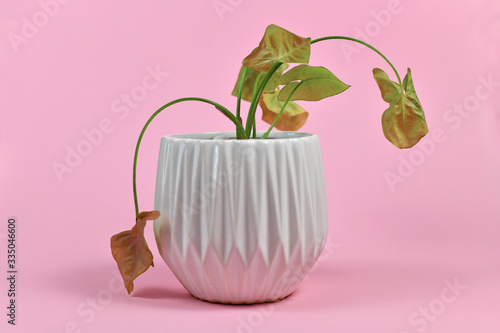 Papel de parede Neglected dying house plant in white flower pot on pink background