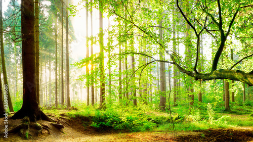 Fototapety, obrazy: Spring forest with bright sun shining through the trees