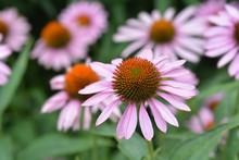 Pink Coneflower Rubinstern