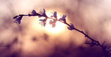 Twig Blossoming Cherry In The ...