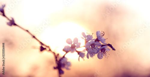 Fotografia twig blossoming cherry in the sun