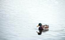One Wild Male Duck Floats In W...
