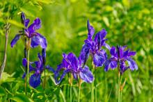 Wild Flowers Irises On A Blurred Green Grass Background