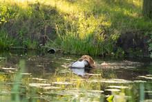 Yellow Labrador Fetching A Sho...