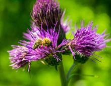 Honey Bee Pollinating Thistle ...