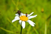 Beetles On Camomile