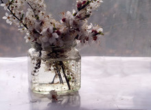 Spring Cherry Blossom In A Jug...