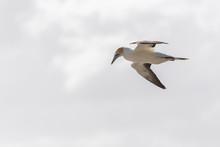 Australasian Gannet In Flight ...