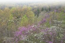 Foggy Spring Landscape Of Dogw...