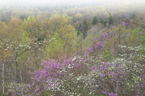 Fototapeta Foggy spring landscape of dogwoods and redbuds in bloom, Cumberland Falls, Kentucky, USA obraz na płótnie