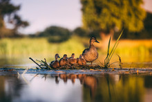 A Family Of Ducks Together In ...