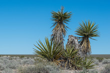 Sharp, Sword-like Leaves Of Mojave Yucca (Yucca Schidigera) In Tule Springs Fossil Beds National Monument