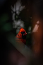 Red Cardinal In The Forest