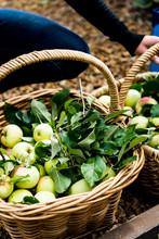 Freshly Picked Apples In A Wicker Basket