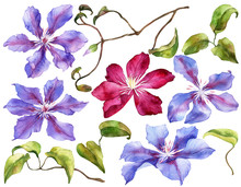 Set Of Clematis Flowers On Iso...