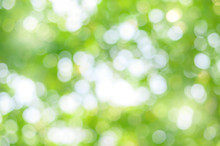 Green Bokeh Abstract Background. Blurred Green Leaves Of Big Tree With Sunlight.