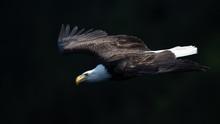 Bald Eagle Aproach