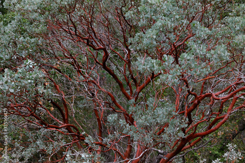 Cuadros en Lienzo Red bark of the evergreen Manzanita tree in Yosemite National Park in winter