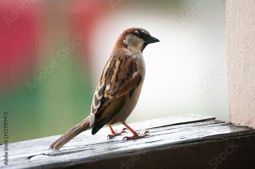 Fototapeta Little sparrow bird, sit on balcony wooden fance