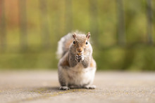 Portrait Of A Cute Squirrel Eating Nuts In Nature. Red Animal With A Funny Look In The Park Or Forest. Fluffy Small Mammal. Photo Of Squirrels In The Wildlife. Green Background.