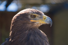 Steppe Eagle Focused On Looking For Prey.